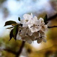 Cherry blossoms by dsfotods