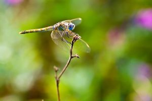 Female Red Veined Darter IV by dalantech