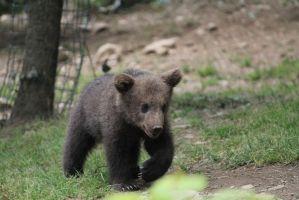 Bear cub 9 by Linay-stock