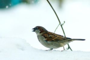 House Sparrow's winter blues by steppeland