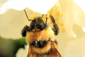 Bee face by sgt-slaughter