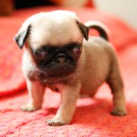 Mr.  Pug 03 by sharadhaksar