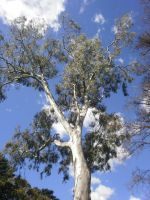 melbourne gum tree 3 by LuchareStock