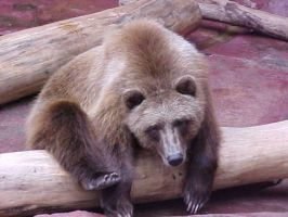 Grizzly Bear by imerald