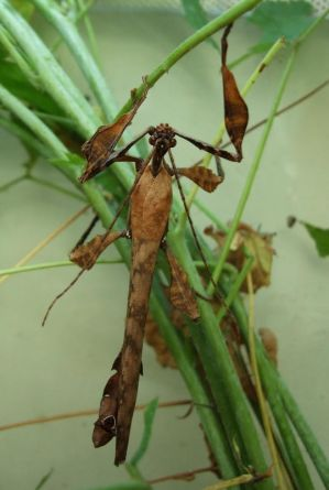 Giant Prickly Stick Insect by Preradkor