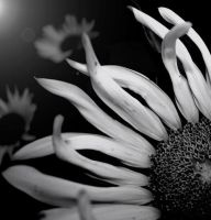.:helianthus:. by neslihans