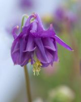 Purple Columbine by PlumCrazee