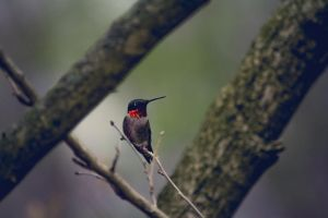 Ruby Throated Humming Bird by ViridianRoses