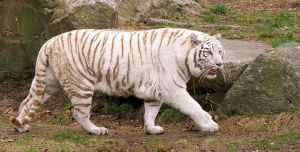 White Tiger Stock 3 by HOTNStock