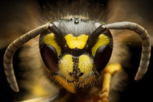 Common Wasp (front view) by FreezingGlare