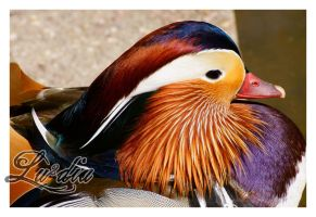 Colorful Mandarin by LueDscha