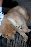 Jacy-Golden Retriever Puppy12 by sarabil1
