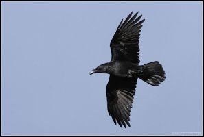 Raven In Flight by nitsch