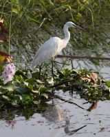Nile Little Egret by Ironpaw