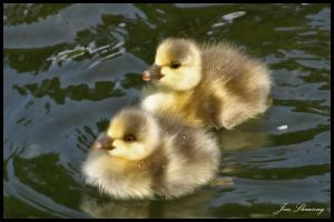 Ducklings by jimbomp44