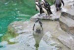 humboldt penguin 2.14 - juvenile by meihua-stock