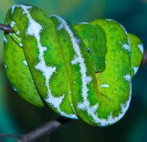 Emerald Tree Boa by deseonocturno