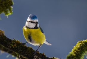 Blue tit by SilenceOfNature