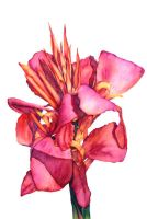 Canna Lily by anrenee