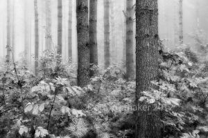 Foggy Maine Woods DT7 7445 by detphoto