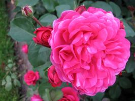 Sir John Betjeman Rose #2 by revenge-of-nerd-girl