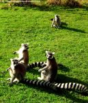 Ring-tailed lemurs 2 by Cansounofargentina