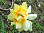 Butter and Eggs Daffodil by Calypso1977