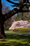 Light Pink Blossoms.. by Mikelyjohnsono