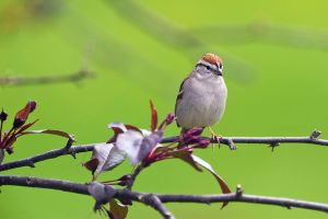 Chipping Sparrow by MosesImages