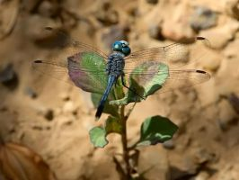 Dragonfly IV by nordfold