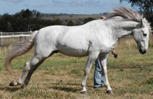 Andalusian stallion 3 by xxMysteryStockxx