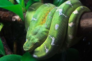 Emerald Tree Boa by cheslah