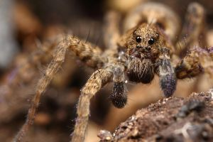 baby wolf spider by macrojunkie