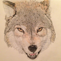 Growling Grey wolf by TiffMootrey