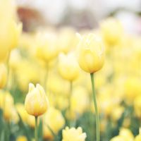 yellow petalled road by alais-photography