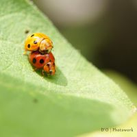 Ladybug Mating by dianapple