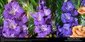 Purple Gladiolas Stock 2 by Melyssah6-Stock