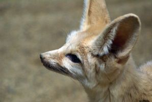 Fennec Fox 005 by MonsterBrand-stock