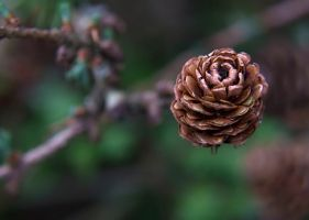 Pine cone close up by stphq