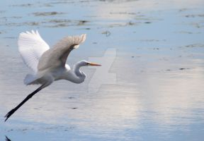 Great Egret in Flight I by HawkEagleWolf