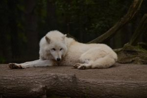 Arctic Wolf 3 by Lakela