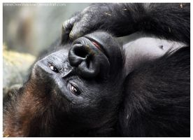 Lowland Gorilla 010 by ShineOverShadow