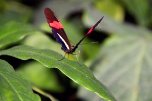 Heliconius erato by TheSleepyRabbit