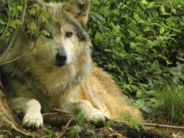 Mexican Wolf by JennHolton