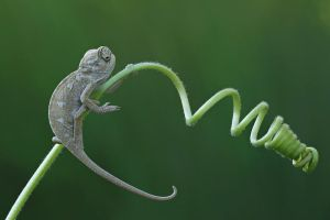 lovely chameleon by lisans