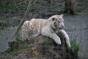 White Tiger in Relaxation by NicamShilova