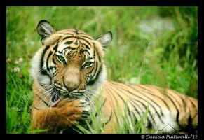 Seductive Tigress by TVD-Photography