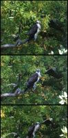 Osprey in the Tree by Purplejackdaw