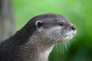 Oriental Otter by priwax