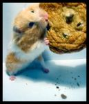 If You Give A Hamster A Cookie by bleste